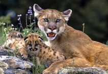 Mountain-Lion-With-Cub free wallpaper - 2012-09-24 at 01-21-25 - Version 2