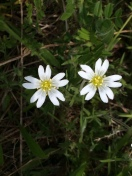Chickweed KP