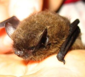 CA myotis bat