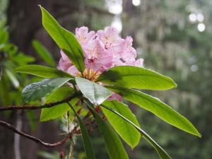 Rhododendron macrophyllum